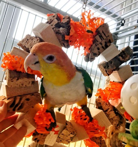 Cork A Round (Pollo the Caique)