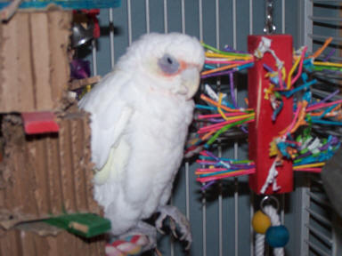 Kelawia (Katie) a Little Corella who loves Stick toys and Shred-X