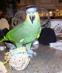 Tommy (Orange Winged Amazon) is going to go steal Simon's Fiesta Ball!